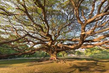 Big giant tree with branch in Thailand, natural landscape background