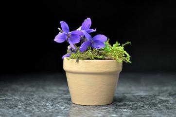 viola spring composition