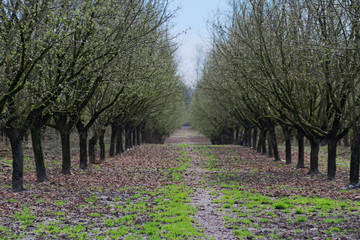 Rows of Hazelnut Trees in Orchard, Rolling Ground, Rich Soil, Dark Trunks, Green Grass, Vivid Blue Sky, Selective Focus to Soft Focus Blur, Early Spring, Horizontal, Daytime – Willamette Valley, Orego