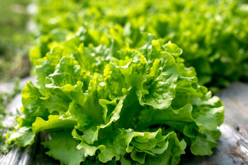 Fresh lettuce in a hothouse - selective focus
