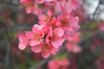 Sfondo di primavera. Fiori rosa su ramo