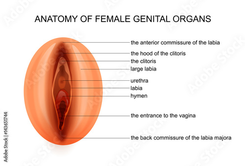 Anatomy Of Female Genital Organs Stock Image And Royalty Free