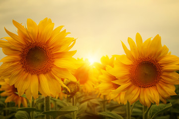 sunflowers and sun