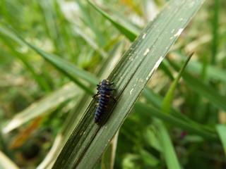 ナナホシテントウ 幼虫 larva of the ladybug