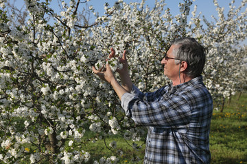 Farmer or agronomist examine blossoming cherry orchard