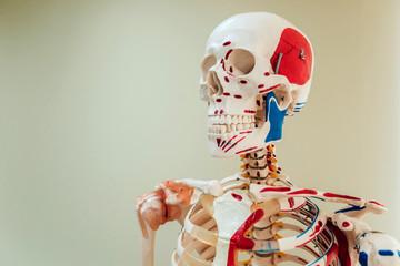 Human anatomy model. Medical office.