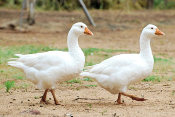 Walking Goose Pair