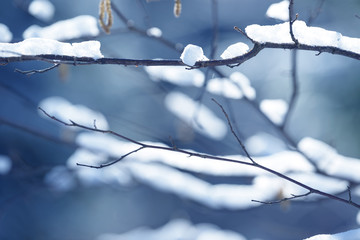 Winter branches covered with snow. Frozen bush branch in winter forest.