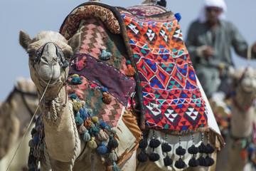 Egyptian Camel at Giza Pyramids background. Tourist attraction - horseback riding on a camel. Traditional ancient places in the desert of Egypt and tour on Africa.