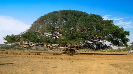 The Heroic Ficus Daaro Sycamore at Segheneyti, symbol of Eritrea