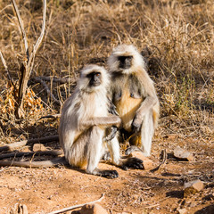 Monkeys on in the Reserve of Ranthambor in India