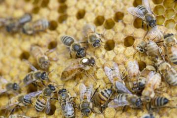 Italian Queen with Worker Bees