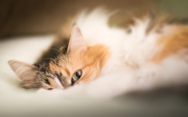 Beautiful cat is lying on the sofa
