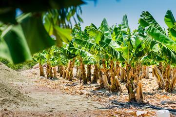 banana palm plantation
