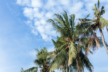 Coconut palm tree on blue cloudey sky on a tropical island Bali, Indonesia.