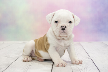 Olde English Bulldog with colorful springtime background