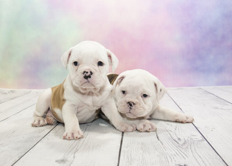Olde English Bulldog puppies on colorful spring background