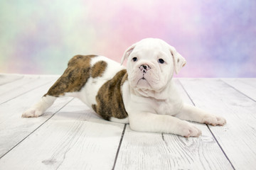 Olde English Bulldog puppy on colorful spring background