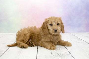 Goldendoodle puppy on colorful spring background