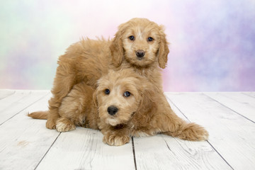 Goldendoodle puppies on colorful spring background