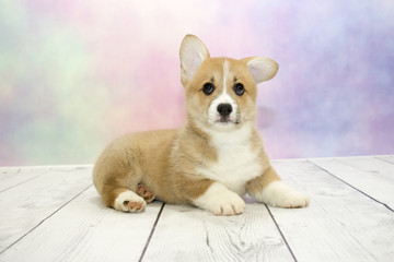 Corgi puppy on colorful spring background