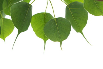 Green leafs of Sacred tree in summer with white background