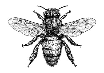 Bee illustration, drawing, engraving, ink, line art, vector