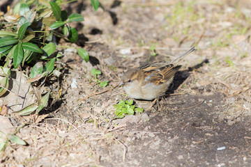 sparrow in early spring