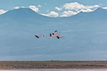A flock of flamingos flying over salt lagoon near San Pedro de Atacama - Chile, South America