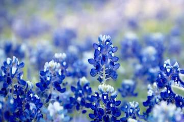 Fototapete - Bluebonnet patch in central Texas