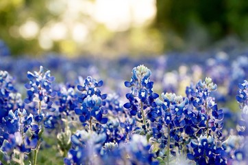 Fototapete - Bluebonnet field at sunset