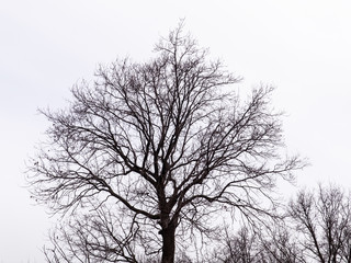 Bare tree on a white background. Silhouette against the sky.