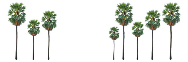 horizontal sugar palm tree or toddy palm isolated on white