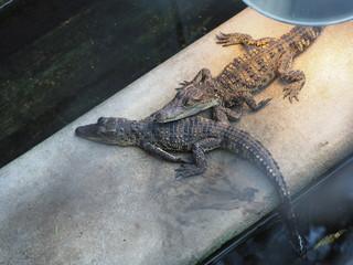 a bask of baby crocodiles