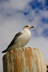 Seagull in a pier