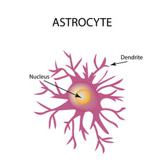 Astrocyte structure. Nerve cell. Infographics. Vector illustration on isolated background.