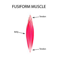 The structure of the muscle is fusiform. Infographics. Vector illustration on isolated background