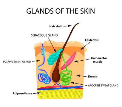 The structure of the hair. Sebaceous gland. Sweat gland. Infographics. Vector illustration on isolated background