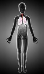 Boy's lungs, illustration