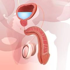 Male urinary system, illustration