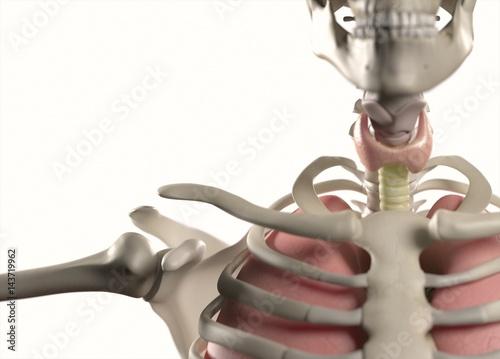 Anatomy Body Human Ribs Torso Thyroid Neck And Shoulder