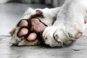 Paws of a white tiger