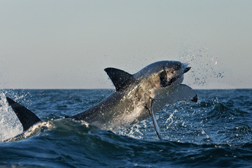 Great white shark, Carcharodon carcharias, South Africa