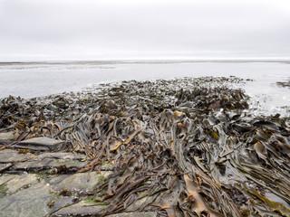 huge tangle of giant seaweed, Atlantic Ocean, Falkland Islands Malvinas