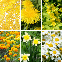 Yellow summer flowers as background