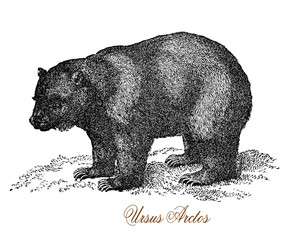 The grizzly bear (Ursus arctos ssp.) is a large subspecies of brown bear inhabiting North America.