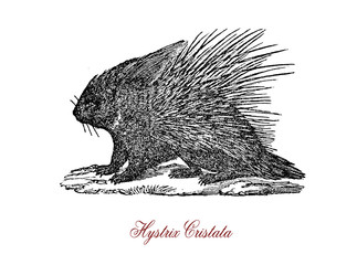 The crested porcupine (Hystrix cristata) is a species of rodent in the family Hystricidae found in Italy, North Africa, and sub-Saharan Africa.