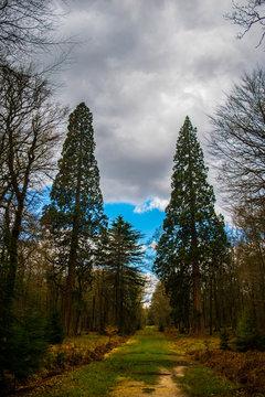 Sequoia at Blackwater Arboretum, Rhinefield Ornamental Drive New Forest
