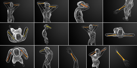 3d rendering medical illustration of the radius bone