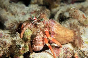 Anemone Hermit Crab (Dardanus pedunculatus). Dampier Strait, Raja Ampat, Indonesia